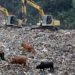 垃圾填埋地成养牛场,牛肉销往长沙市场