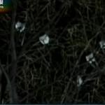 朝鲜官方电视台:数十只喜鹊立枝头哀悼金正日