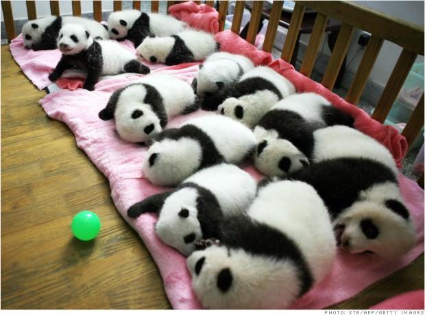 译言   中国大熊猫租借业务是如何运作的