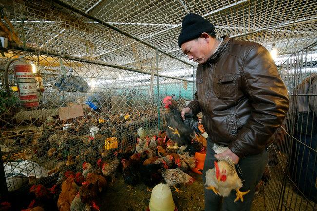上海的一家批发市场里,小贩挑选活鸡。
