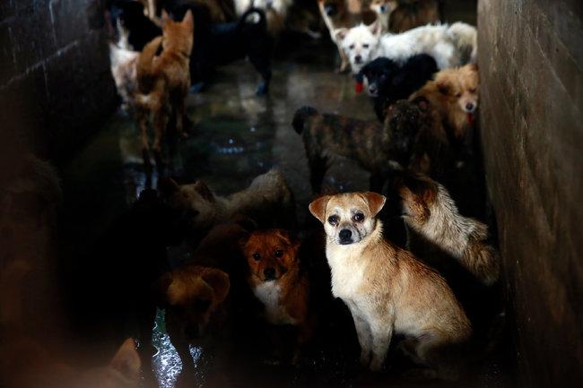 纽约时报:在玉林的一个屠宰场,狗等待着被屠宰。/Humane Society International, via Associated Press