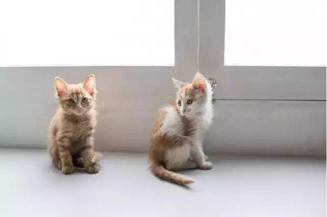 """猫 艾未未家有三四十只猫,都是捡回来的。""""最初我一点不喜欢,可也不能吃掉啊,就开始养,发现它们都很独立、干净,从来没打扰过我。和人都不能这样相处的。""""采访前一天,现任美国驻华大使马克斯·鲍克斯从艾未未家抱走了两只猫。"""