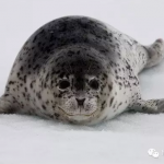 NGOCN | 一群北极萌物死里逃生,可是保护者却……