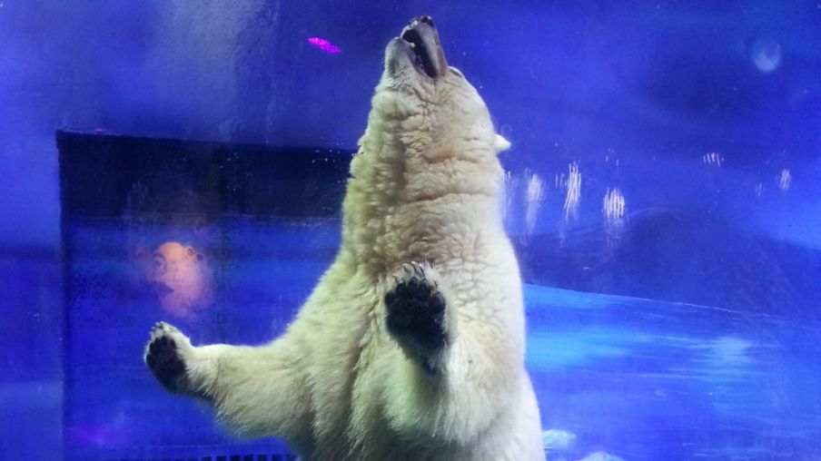 160921053057_polar_bear_pizza_976x549_afp_nocredit