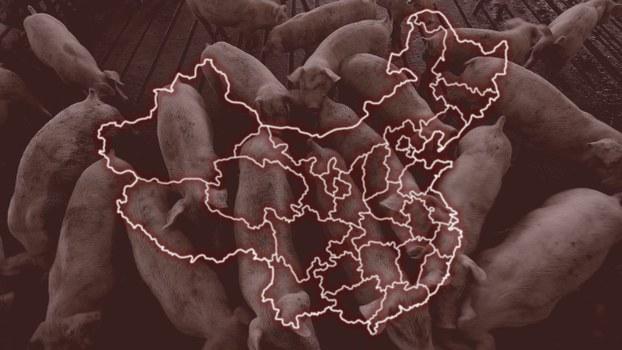 自由亚洲 |  全中国沦陷非洲猪瘟疫情