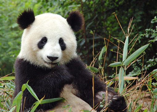 giant panda how chinas economic Distribution of economic benefits from ecotourism: a case study of wolong  nature reserve for giant pandas in china author(s): guangming he xiaodong .