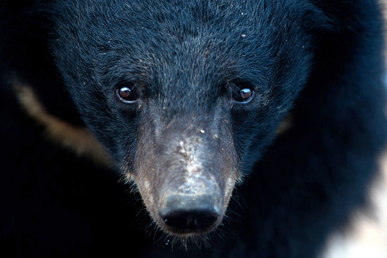 Bear That Became Symbol of a Movement Dies