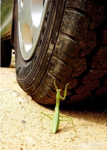 """Don't you know about the praying mantis that waved its arms angrily in front of an approaching carriage,"" warned the philosopher Zhuangzi, ""unaware that they were incapable of stopping it? Such was the high opinion it had of its talents"" (Burton Watson, trans.). Images of the angry mantis facing a car wheel are circulating online today."