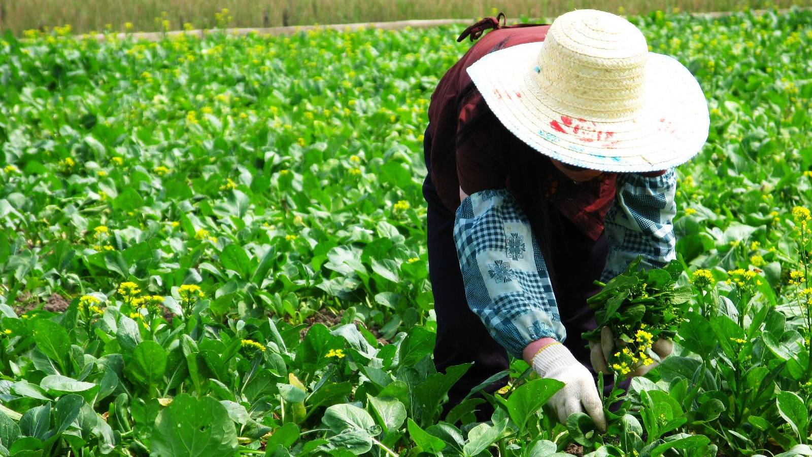 China's Genetically Modified Food Fight
