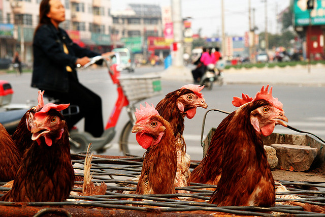 "New H7N9 Cases ""Signal Potential Winter Epidemic"""
