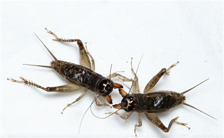 Crickets Fight it Out at China's National Championship
