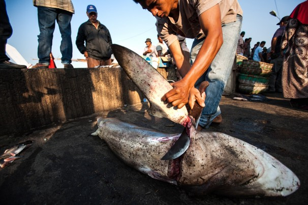 Shark Fin Victory May Offer Hope for Elephants