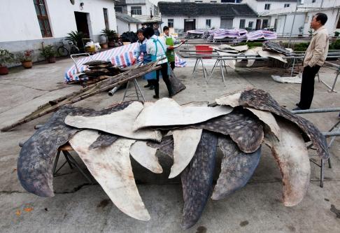 """Shark Slaughterhouse"" Exposed in Zhejiang"