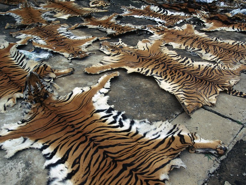 China Admits to Permitting Tiger Skin Trade