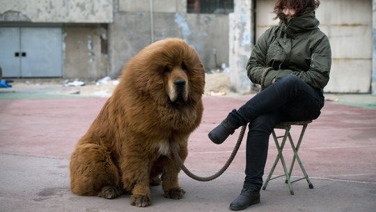 Once-Prized Tibetan Mastiffs Discarded as Fad Ends