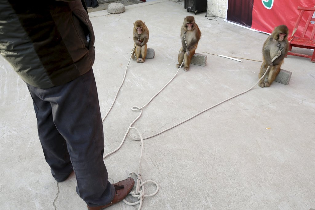 Protecting China's Animals in the Monkey Year