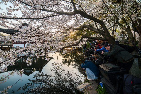 Photo: Hangzhou West Lake Cherry Blossom, by rustler2x4