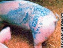 China pig tattoos drives artist wild reuters china for Pig skin tattoo